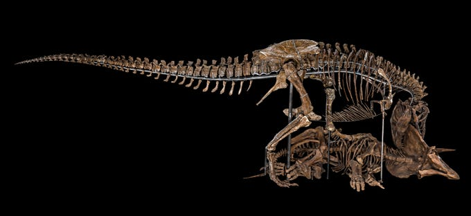 In 1988, rancher Kathy Wankel discovered this Tyrannosaurus rex specimen while hiking in the Hell Creek Formation in McCone Co. along Fort Peck Reservoir on land managed by the U.S. Army Corps of Engineers. After a little digging with a garden shovel and a jackknife, she unearthed the first complete T. rex arm ever found. Jack Horner of the Museum of the Rockies led the mission to excavate the rest. This specimen was loaned to the Smithsonian in 2014 for 50 years, where it is to be displayed with the composite cast of a Triceratops horridus, assembled from the remains of several individual specimens. The Tyrannosaurus rex lived about 68-66 million years ago. The triceratops dates from the same era and comes from Wyoming.