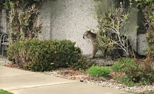 A mountain lion was found Wednesday on NorthWestern Energy property.