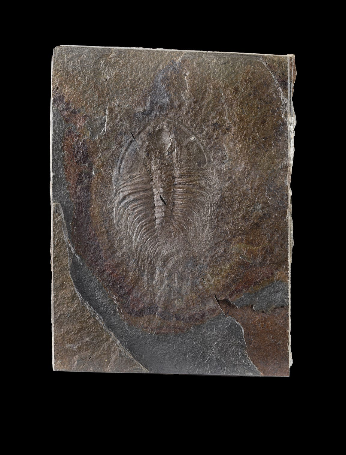Olenellus, a trilobite is pictured at the newly remodeled Fossil Hall at the Smithsonian Natural History Museum.