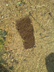 During periods of flooding, fire ant colonies can band together to form rafts and float to new areas. John Goddard of the University of Tennessee's Loudon County Extension took this photo of a floating fire ant colony after heavy flooding Feb. 24, 2019.