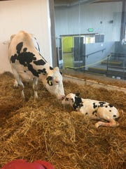 Calves are born up to five times a day at the Farm Wisconsin Discovery Center in Manitowoc County.