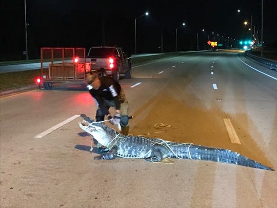 Collier County deputies were called out to Immokalee Road and Randall Boulevard in Golden Gate Estates on Wednesday, May 22, 2019 where a 10-foot, 6-inch long gator was on the road.
