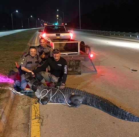 10-foot, 6-inch long alligator found taking early morning stroll on road in Collier County