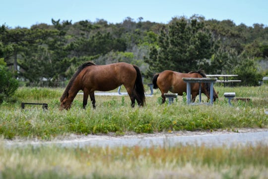 The Yankee band of wild horses in the Assateague State Park campground on Wednesday, May 22, 2019. Rangers ask that visitors for Memorial Day weekend maintain at least 40 feet distance from the horses for safety.