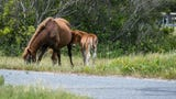 As the summer season begins, Assateague State Park staff advises visitors about how to stay safe around the wild horses.