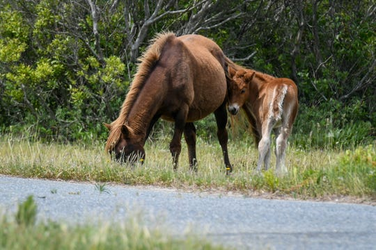 New Assateague foal, N2BHS-AR, in the state park campground on Wednesday, May 22, 2019. Rangers ask that visitors maintain at least 40 feet distance from the wild horses for safety.