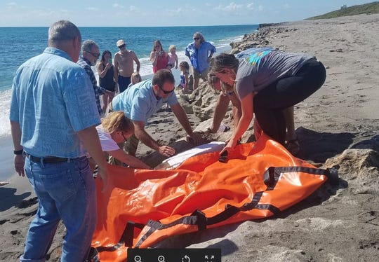 Staffers at Blowing Rocks Preserve work to free an adult female loggerhead sea turtle found stuck in the rocks Tuesday, May 21, 2019.