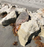 An adult female loggerhead turtle found stuck in the rocks Tuesday, May 21, 2019, at Blowing Rocks Preserve was rescued by The Nature Conservancy staffers.