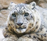 At nearly 22 years old, Santa Barbara Zoo snow leopard Everett was the oldest known member of his species. here's a look back at his life.