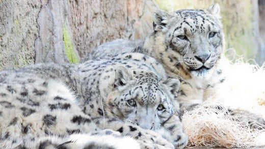 Oldest Known Snow Leopard Dies At Santa Barbara Zoo