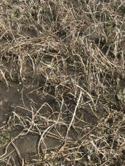 Farmers around the state started spring with fewer acres of alfalfa due to winterkill. The state was rated at 25% severe, 18% moderate and 17% light. Forty percent of alfalfa was reported as undamaged, compared to 82 percent from last year.