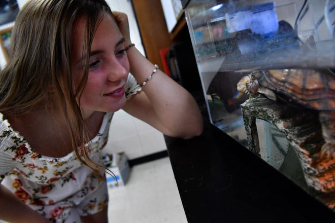 Cooper High senior Caroline Statler looks in on her favorite turtle, an African Sideneck named Athena, in science teacher Jessi Spitler's class Tuesday.