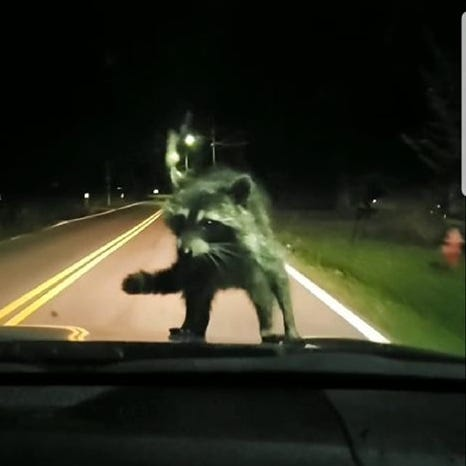 Car-surfing bandit: Raccoon hitches ride with family headed home from Clarksville