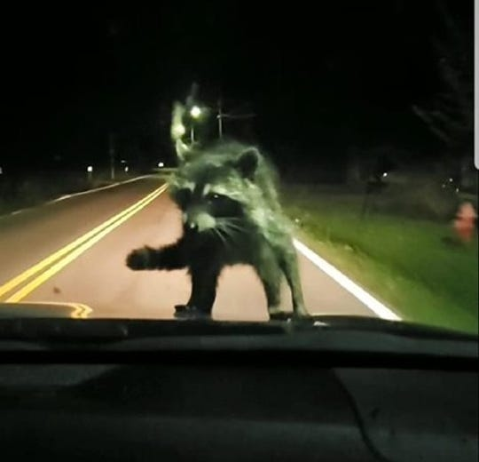 The raccoon riding the hood of the Lowry vehicle on a recent trip home from Clarksville.