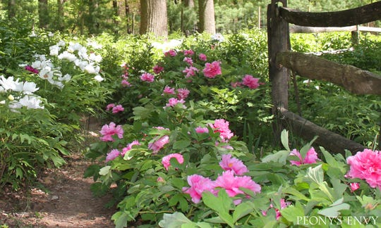 Now in its 13th year, Peony's Envy is a thriving mail order business that farms 17 acres across two locations.