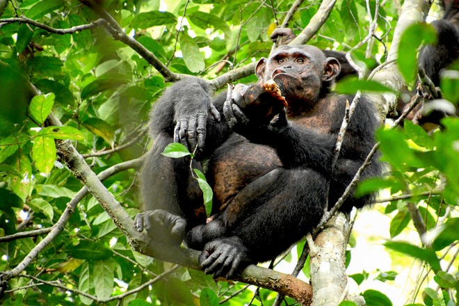 A wild chimpanzee eats a tortoise, whose hard shell was cracked against tree trunks before scooping out the meat at the Loango National Park on the Atlantic coast of Gabon, May 20, 2019.