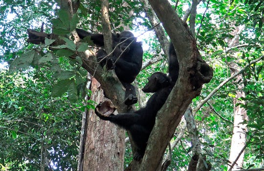 Wild chimpanzees eat tortoises, whose hard shells was cracked against tree trunks before scooping out the meat at the Loango National Park on the Atlantic coast of Gabon, May 20, 2019.
