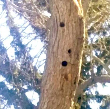 Leave trees for woodpeckers