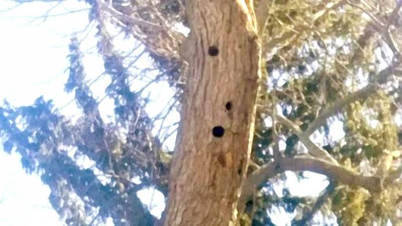 These holes are in a 10 inch diameter branch about 25 feet off the ground. They are most likely hairy woodpecker holes. Downy woodpecker prefer smaller branches.
