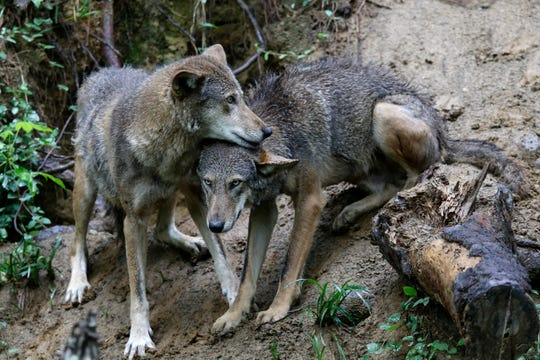 A pair of red wolves huddle at the Museum of Life and Science in Durham, N.C., on Monday, May 13, 2019.