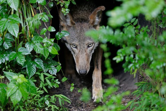A female red wolf emerges from her den sheltering newborn pups at the Museum of Life and Science in Durham, N.C., on Monday, May 13, 2019.