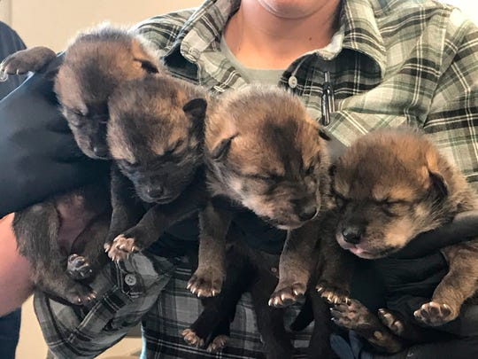 FILE - In this April 18, 2019 photo provided by the Endangered Wolf Center in Eureka, Mo., four of six Mexican wolves born recently in captivity are held at the center, after landing in Phoenix, Ariz., for relocation into the wild. A team from the center and U.S. Fish and Wildlife biologists placed them with wolf dens along the Arizona and New Mexico borders, where they will be raised by foster parents in the wild. Officials with the center say the pups add to the population in the wild but also add much-needed genetic diversity. (Endangered Wolf Center/ Rachel Crosby via AP)