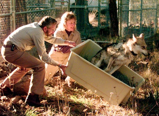 FILE - In this Monday, Nov. 16, 1998 file photo, David Parsons, leader of the Mexican wolf recovery team of the U.S. Fish and Wildlife service and Diane Boyd-Heger, a Mexican wolf biologist, lift a crate carrying a female Mexican wolf who refused to leave her cage after being released into the wild, in the Apache National forest in Alpine, Ariz. (AP Photo/Jeff Robbins, File)