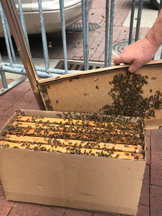 Jerry Zimmerman carefully gathered a swarm of bees into a box.