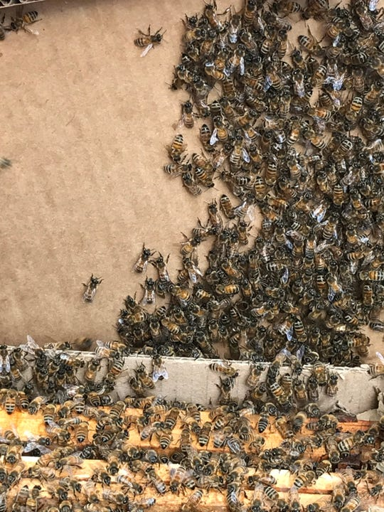 A swarm of bees visited Downtown Indianapolis on May 23