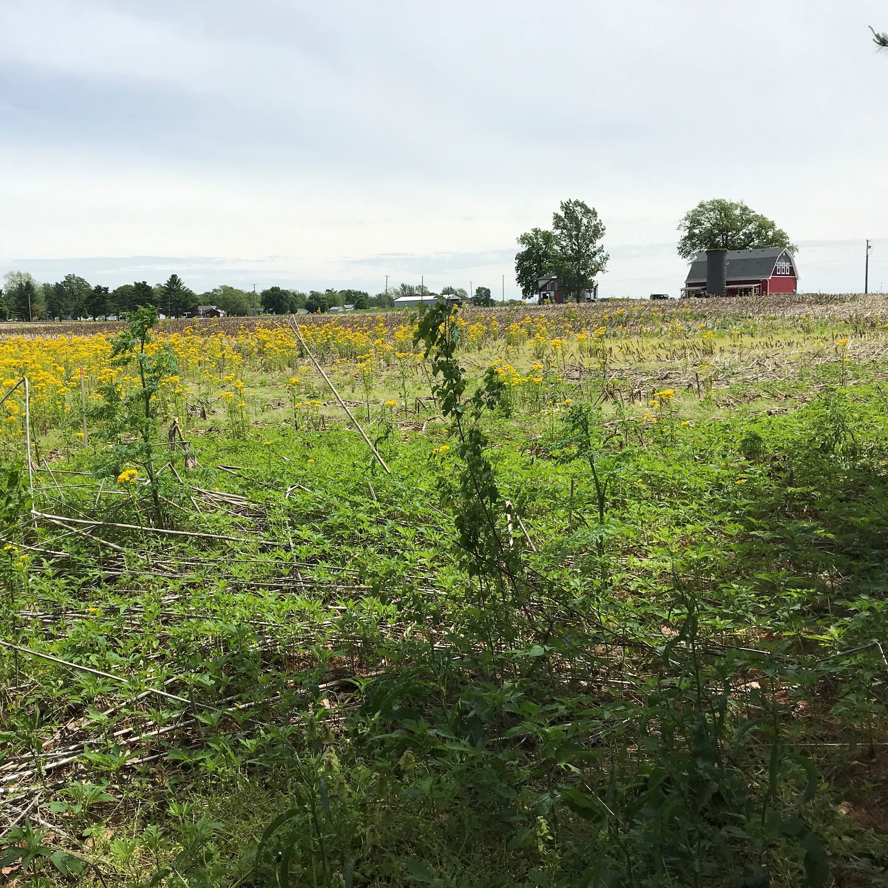 Op-ed: Those wet fields are yellow and shouldn't be; bless anxious Indiana farmers who wait