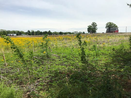 In this view from the driveway into James Cole Elementary School in Stockwell, Indiana, wet fields that should already be planted with corn or soybeans still blooms with the cover of Yellow Rocket on May 22, 2019.