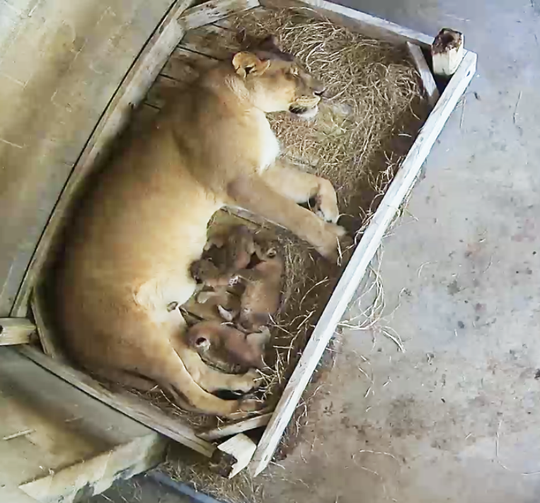 Three African lion cubs born this month at the Naples Zoo are the first new lions there in more than 30 years.