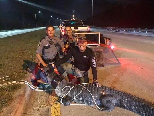 Alligator trapper Ray Simonsen, front, helped Collier County sheriff's deputies wrangle a 10-foot, 6-inch gator on Immokalee Road around 2 a.m. on May 22, 2019.