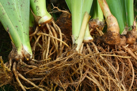 Bare Iris roots ready to transplant.