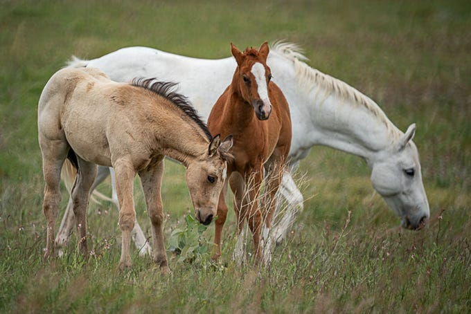 A group of horses from Peeples Valley.