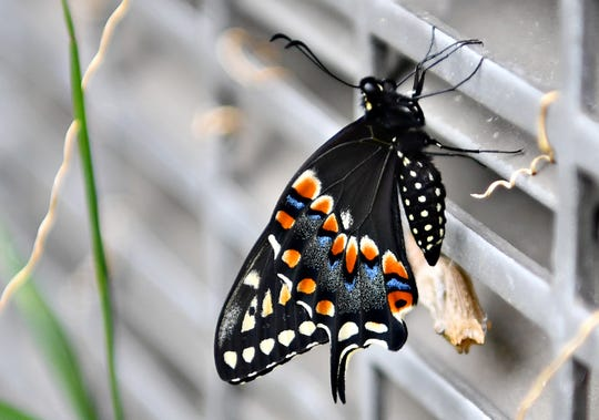A butterfly at  Alexander Goode Elementary School in York City, Thursday, May 23, 2019. Dawn J. Sagert photo