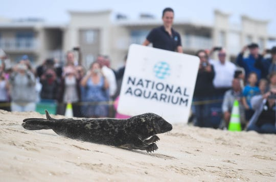 George Washington Carver the seal quickly makes his way back to the ocean after rehab with the National Aquarium's Animal Rescue team, Thursday in Ocean City, Md.