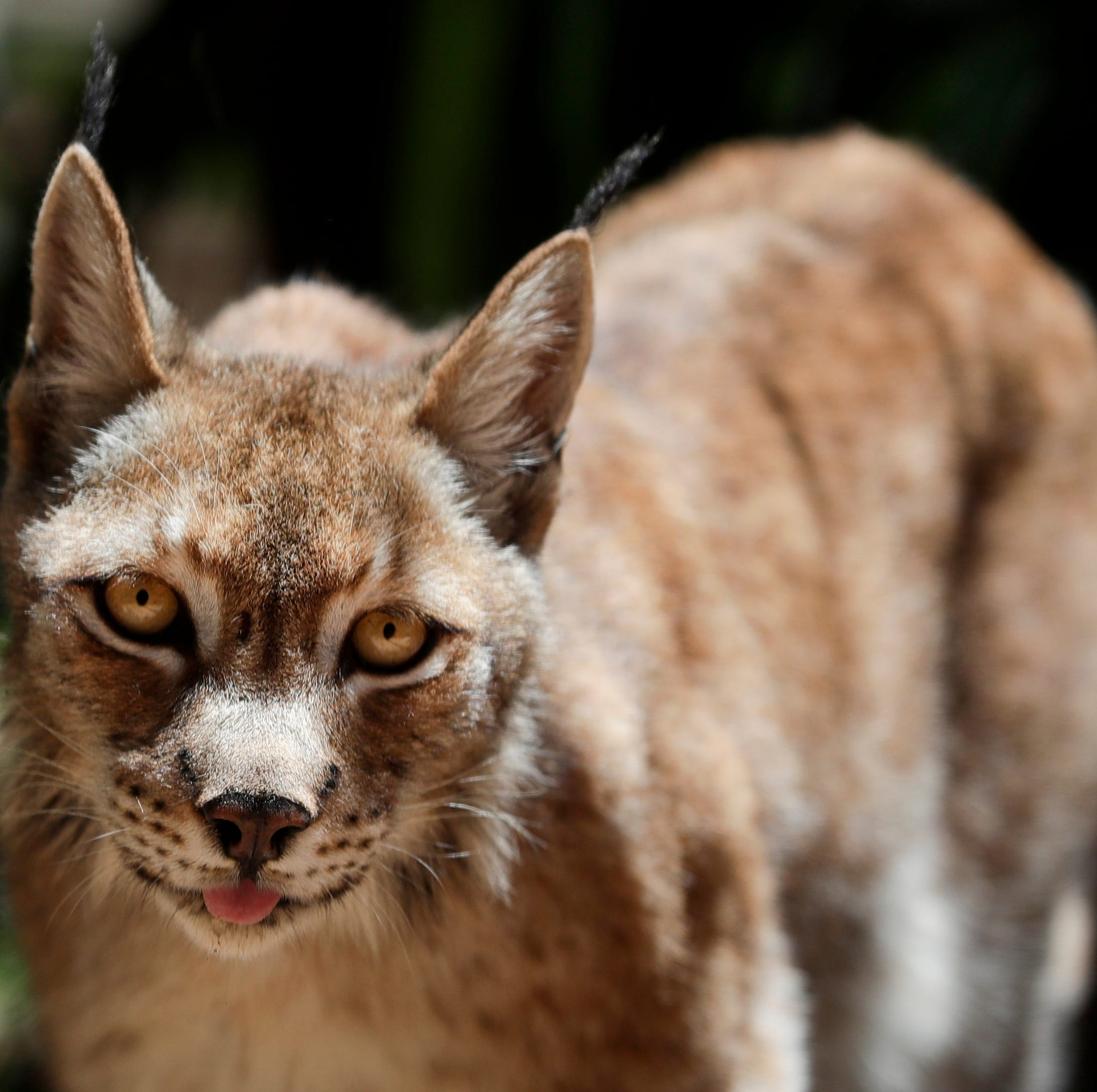 Tallahassee Museum reveals latest guest animal