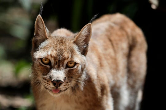 The Tallahassee Museum's new guest animal, a Eurasian lynx, explores his new habitat Thursday, May 23, 2019.