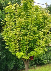 A yellowing tree appears to be suffering serious iron deficiency. It must be growing in extremely alkaline soils or else there is some other contributing factor such as a gas leak or weedkiller damage