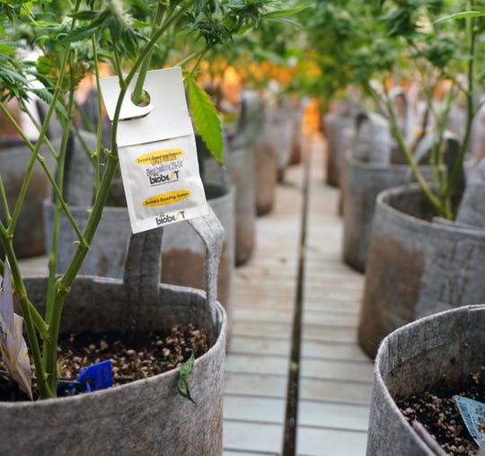 "Marijuana plants growing at the L'Eagle Dispensary are hung with Biobest integrated pest management sachets as part of the facility's commitment to ""clean green certified"" cannabis. That certification is one of the cannabis industry's internal certifications for organic growing procedures, which are otherwise not recognized by the federal government."