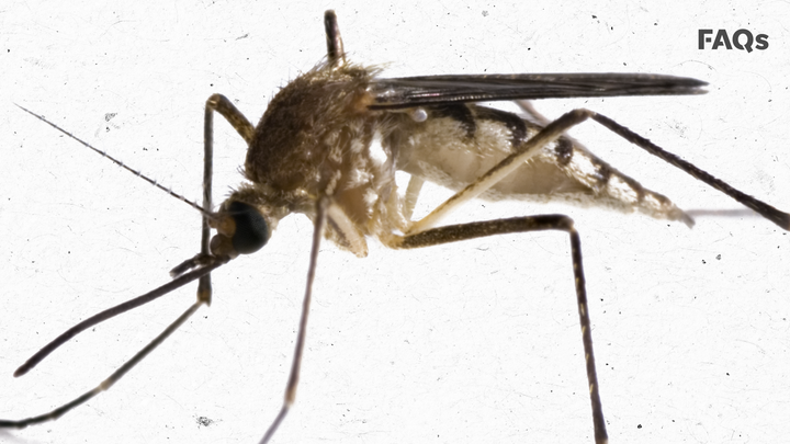 The key to fighting mosquitoes…might be with more mosquitoes