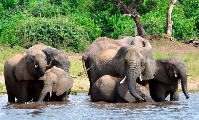 In this March 3, 2013 file photo elephants drink water in the Chobe National Park in Botswana. Botswana's government says it has lifted its ban on elephant hunting, a decision that is likely to bring protests from wildlife protection groups.