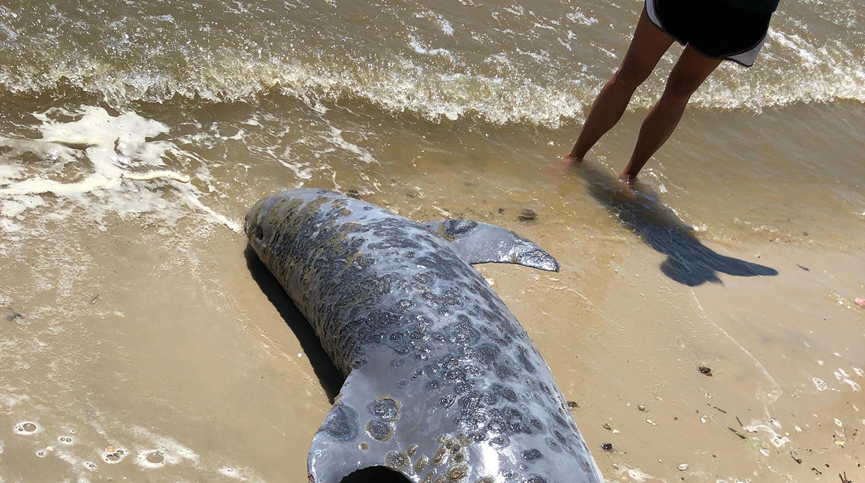 Spillway opening killing dolphins, turtles, marine life on