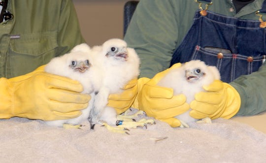Peregrine falcon chicks (right to left) The Beak Freak, Sky Hook and Ray Ray, named for Milwaukee Bucks stars Giannis Antetokounmpo, Kareem Abdul-Jabbar and Ray Allen, respectively, are held after banding Friday at the We Energies plant in Oak Creek, Wis. The birds were returned to their nest box.
