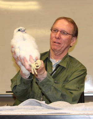 "Greg Septon, a peregrine falcon expert from Franklin, Wis., holds a male peregrine chick named ""The Beak Freak"" on Friday at the We Energies facility in Oak Creek, Wis. The bird was banded and returned to its nest box."