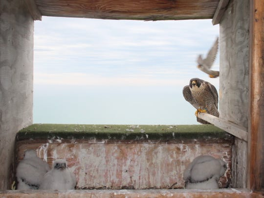 Peregrine falcon chicks sit in the nest box while adult falcons sit and fly nearby on Friday at the We Energies plant in Oak Creek, Wis. The chicks, including one named The Beak Freak after Milwaukee Bucks star Giannis Antetokounmpo, were briefly removed from the nest to be banded.