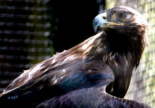 A golden eagle sits inside the Barbara J. Mapp Aviary Education Center at Radnor Lake State Park on May 24.