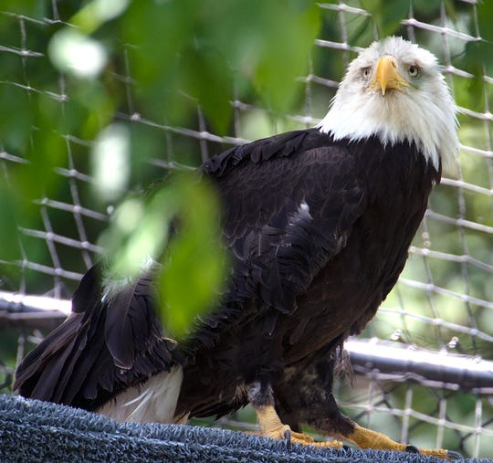 An American bald eagle sits in her flight aviary at the Barbara J. Mapp Aviary Education Center at Radnor Lake State Park.