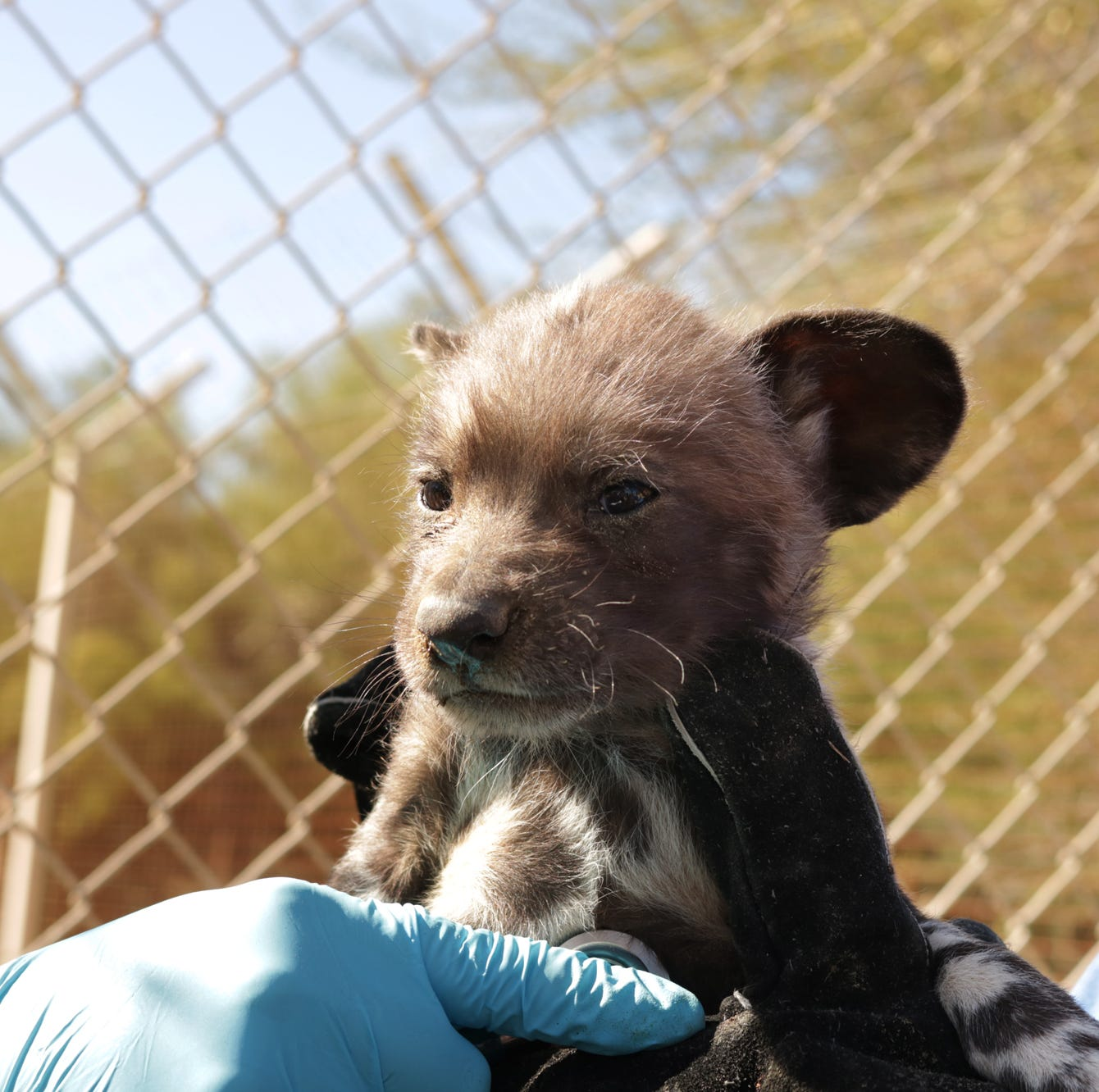 African wild dogs at The Living Desert are doing well one month after their birth